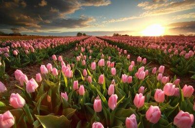 Наклейка Закат над розовым полем тюльпана