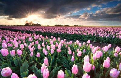 Наклейка Солнце над розовым полем тюльпана