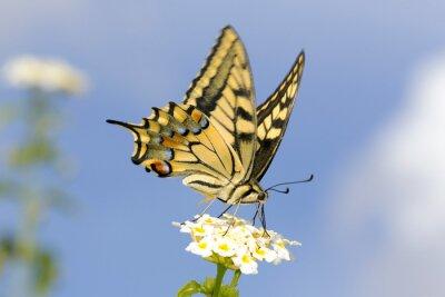 Наклейка Махаон кормления на Lantana цветов. Медленная скорость затвора для захвата крыла трепетание.