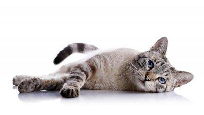 Наклейка Полосатый голубоглазая кошка лежит на белом фоне.