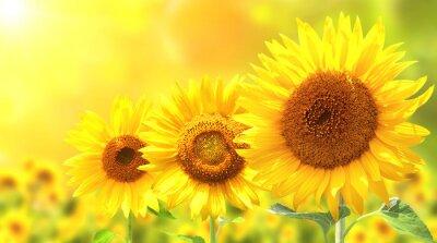 Наклейка Три ярко-желтые подсолнухи