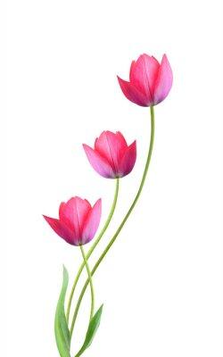Наклейка Три тюльпана цветы, изолированных на белом фоне