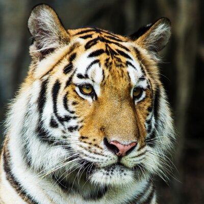 Наклейка тигр