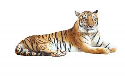 Наклейка Тигр глядя камеру с отсечения путь на белом фоне