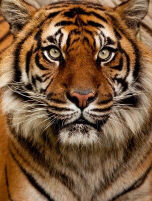 Наклейка Тигр портрет