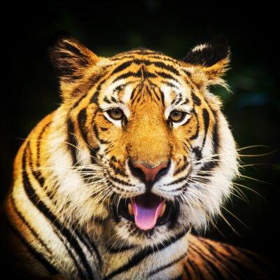 Наклейка Тигр портрет бенгальского тигра.