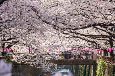 Наклейка ТОКИО, ЯПОНИЯ - март 30: Турист неопознанными Фотографирование с ветками сакуры цветок принято 30 марта 2015 года в Нага Мэгуро районе Токио. Этот район является популярным местом сакуры в Токио с кра