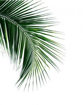 Наклейка листья тропической кокосовой пальмы на белом фоне
