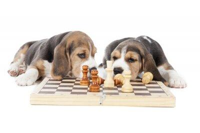 Наклейка два гончих щенки играют в шахматы на белом фоне в студии