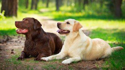 Наклейка два лабрадор ретривер собаки
