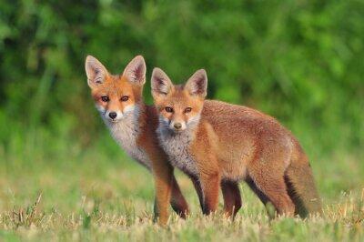 Наклейка Две красные лисы