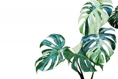 Наклейка Пестрые листья монстеры, расщепленный лист филодендрона, изолированные на белом фоне