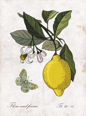 Наклейка рисунок лимон branch.Botanical Иллюстрация Вектор руки.