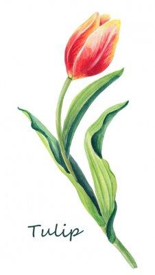 Наклейка Акварель цветочные иллюстрации красивый один тюльпан на белом фоне. Симпатичная поздравительная открытка.Спинг красный, желтый, оранжевый цветок и зеленые листья. Открытка для женского дня.