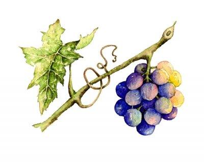 Наклейка Акварель иллюстрация винограда