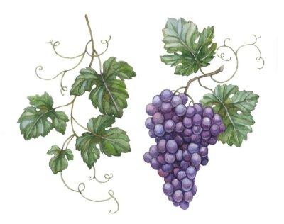 Наклейка Акварель иллюстрации винограда с листьями