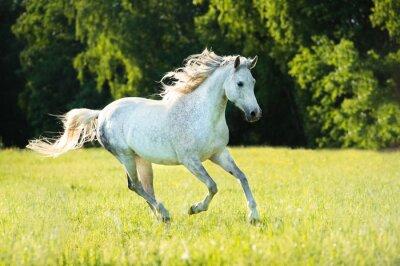 Наклейка Белый арабская лошадь бежит галопом в закатном свете