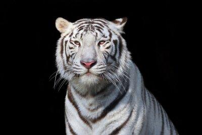 Наклейка Белый бенгальский тигр на черном фоне. Самый опасный зверь показывает свое спокойное величие. Дикая красота тяжелой большой кошки.