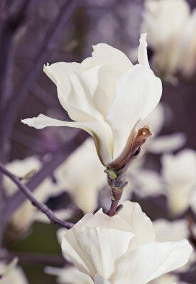 Наклейка Белые цветы магнолии