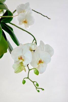 Наклейка White orchid