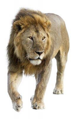 Наклейка Дикий бесплатно роуминг лев-самец на белом фоне