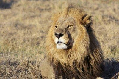 Наклейка Дикий лев-самец портрет