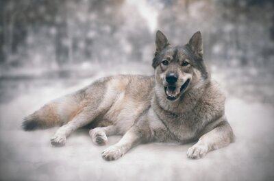 Наклейка Волк / Счастливый волка на фоне снега.