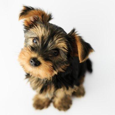 Наклейка Йоркширский терьер - портрет милый щенок