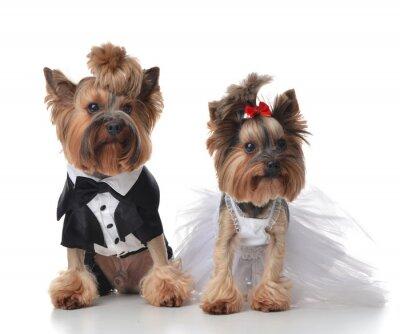 Наклейка Йоркширский терьер одет на свадьбе, как веник и невеста с